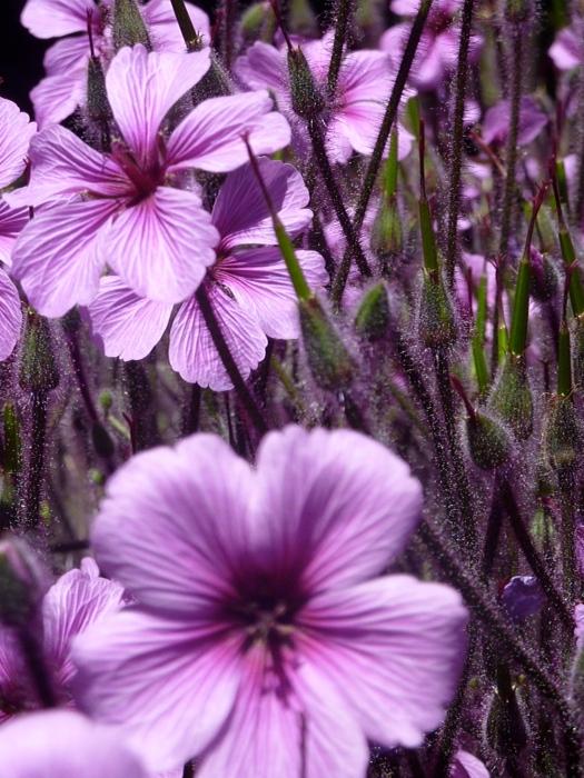 PurpleFurryCloseup